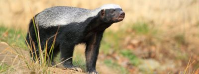 599-safari-wildlife-guide-honey-badger.as